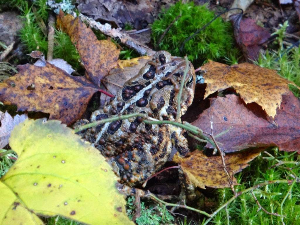 A warty American toad lies amidst the moss and leaves in Algonquin Park