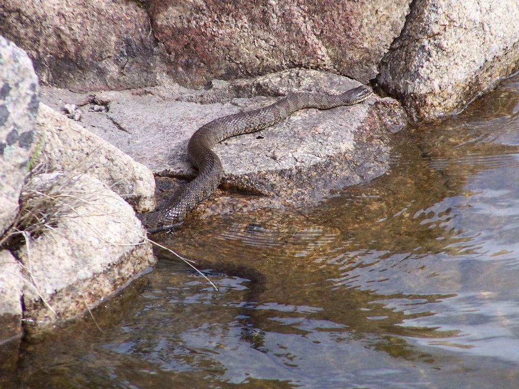A large, mottled brown northern water snake slithers from the water across a rocky shoreline somewhere in the Madawaska Highlands