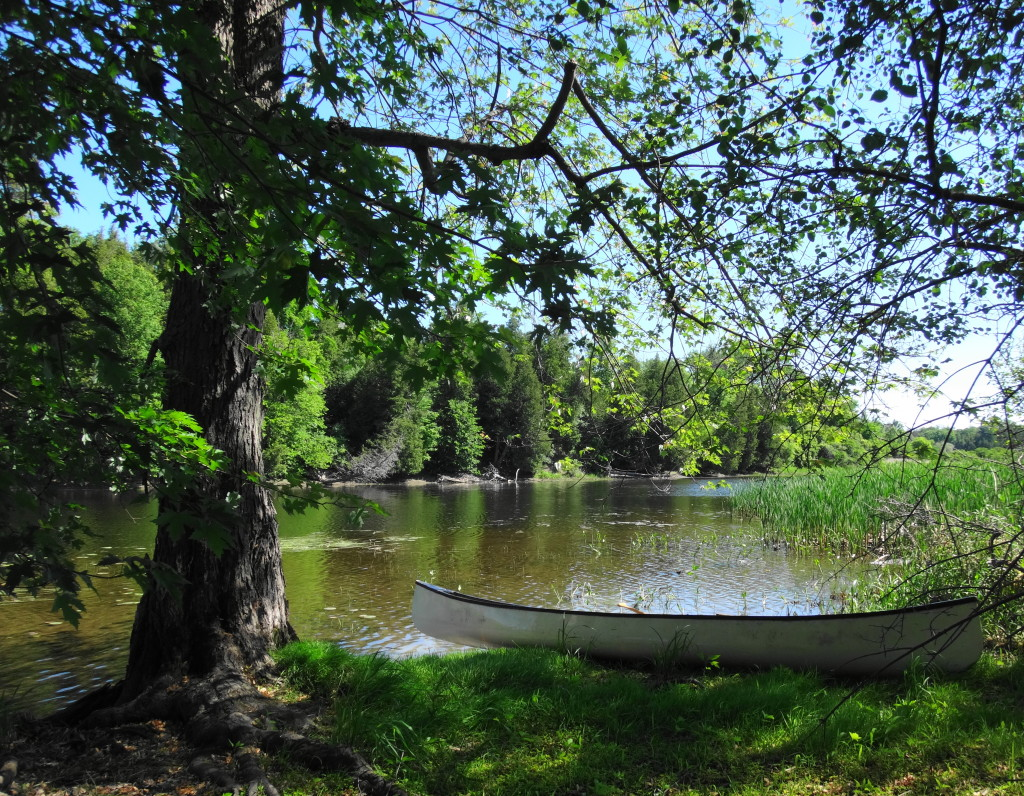 A white canoe rests on the shoreline under the shade of a large silver maple tree.