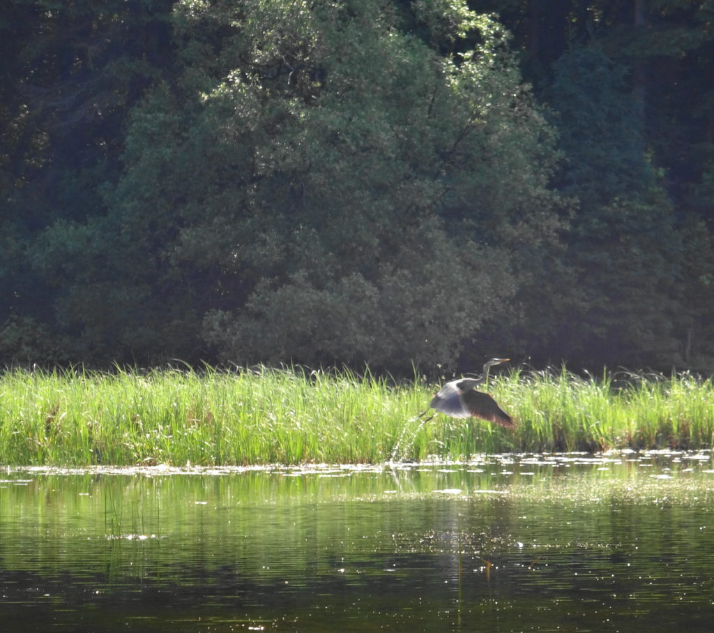A great blue heron takes flight from a marshy shoreline.