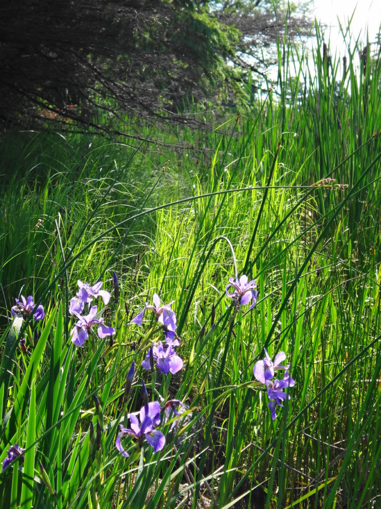 A small cluster of purple irises blooms on a marshy shoreline.