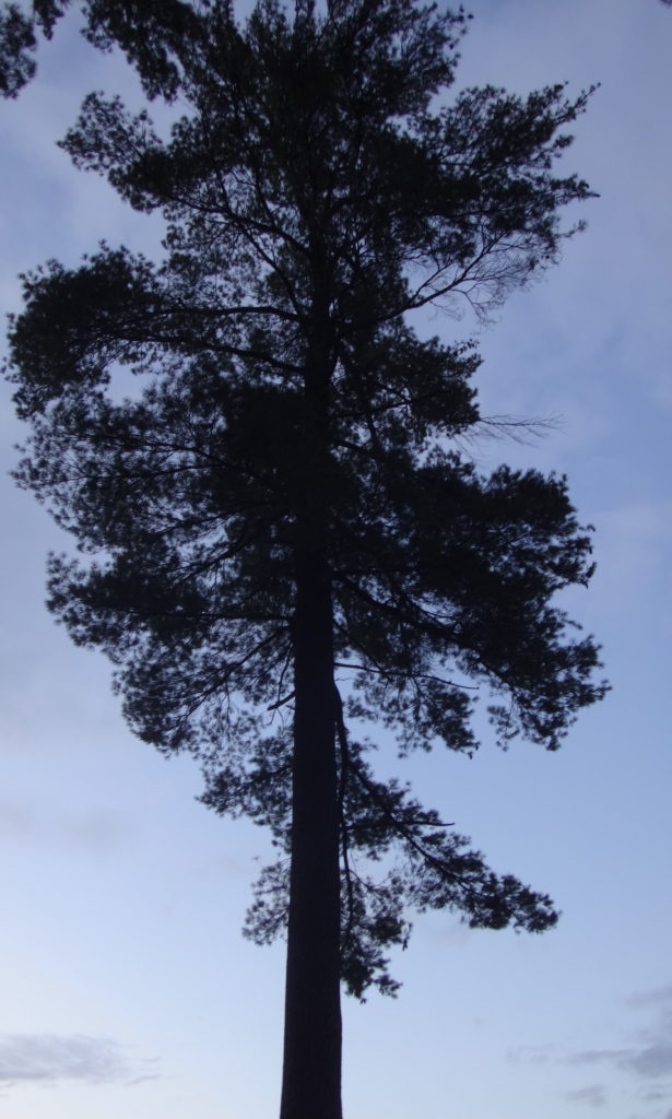 A tall white pine stands silhouetted against a navy blue, evening sky.