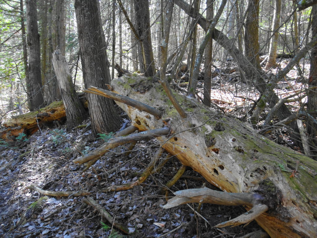 A large, collapsed log rots on the forest floor.
