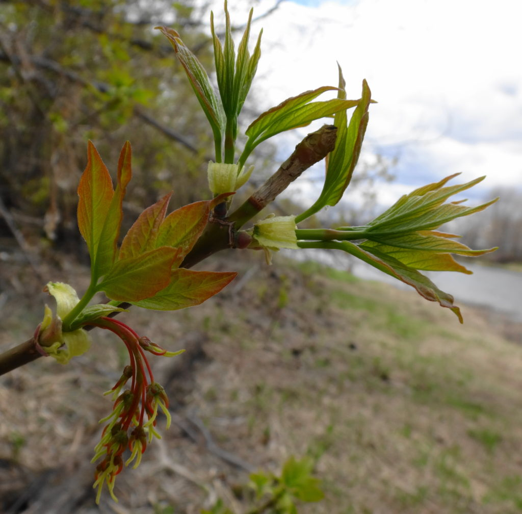 Pale green leaves unfurl at the end of a twig.