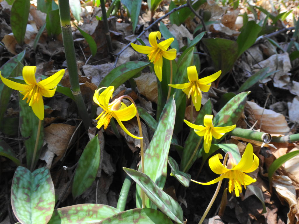 A cluster of bright, yellow trout lilies bloom on the forest floor.
