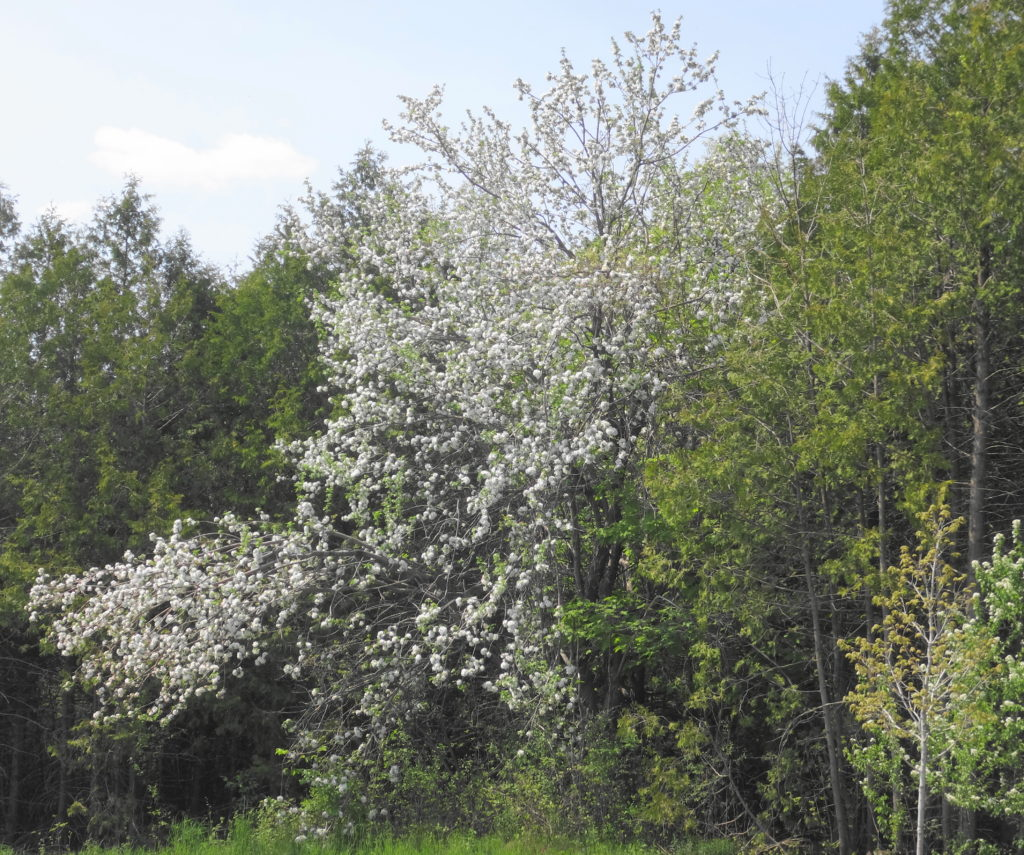 A showy cherry tree blooms along the edge of the Chapman Mills West woodlot.