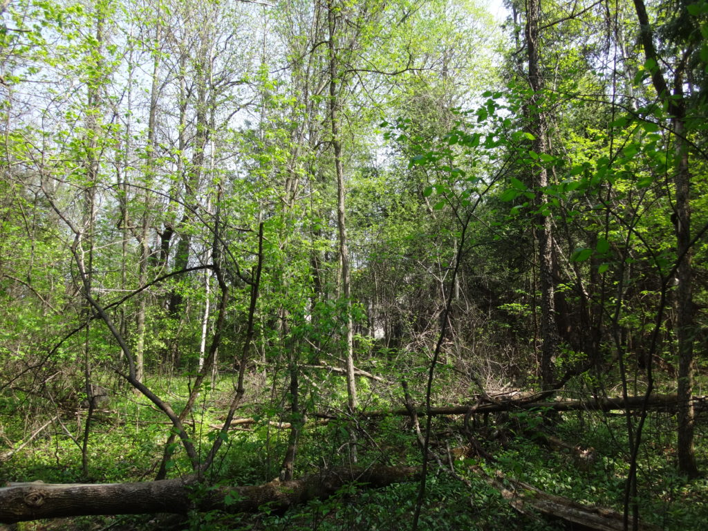 Sunlight bathes an open forest of young trees in the north section of the Chapman Mills West Woodlot
