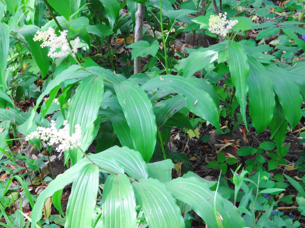 A cluster of false solomon's seal blossoms in Heart's Desire.