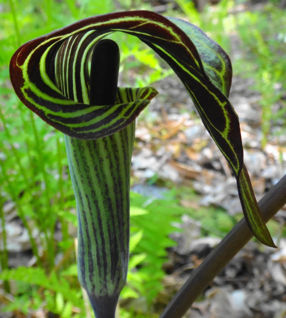 In this close-up of a jack-in-the-pulpit flower, the clublike spathe can be seen emerging from the hooded, tubular, green and red flower.