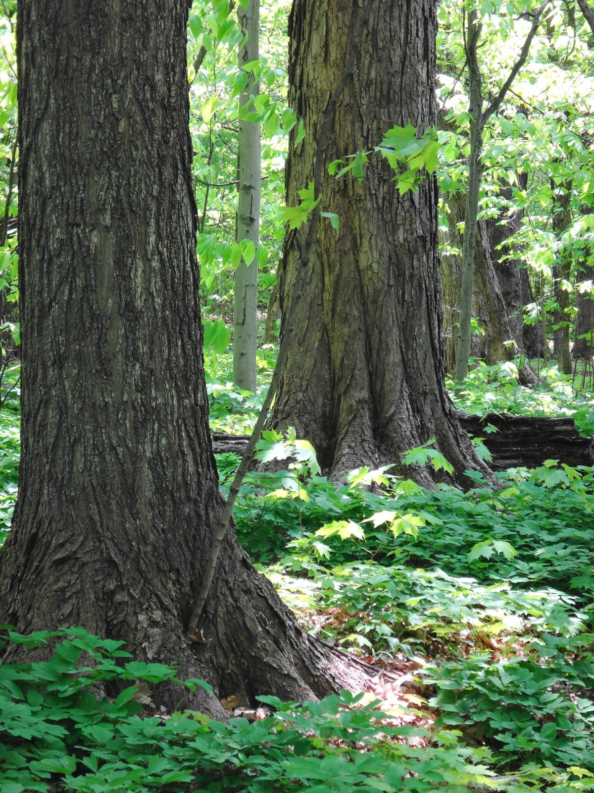 Two enormous maple tree trunks rise out the undergrowth in a sunlight patch of forest.