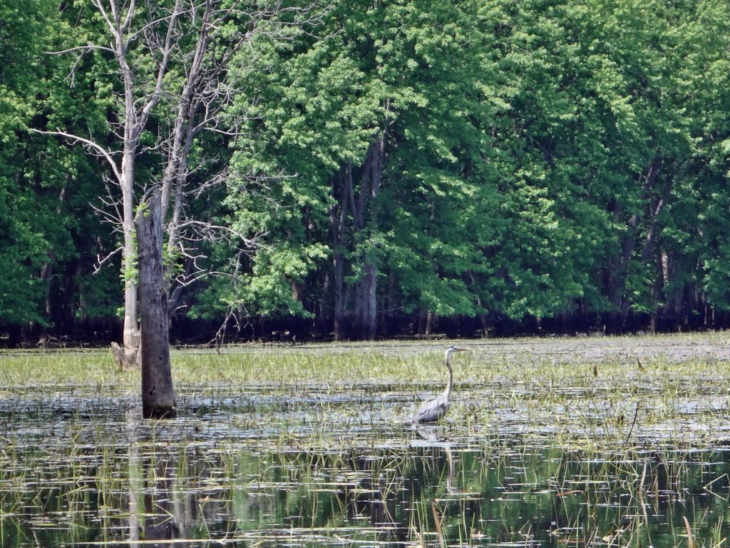 A great blue heron hunts in a shallow marsh on lower Constance Creek.