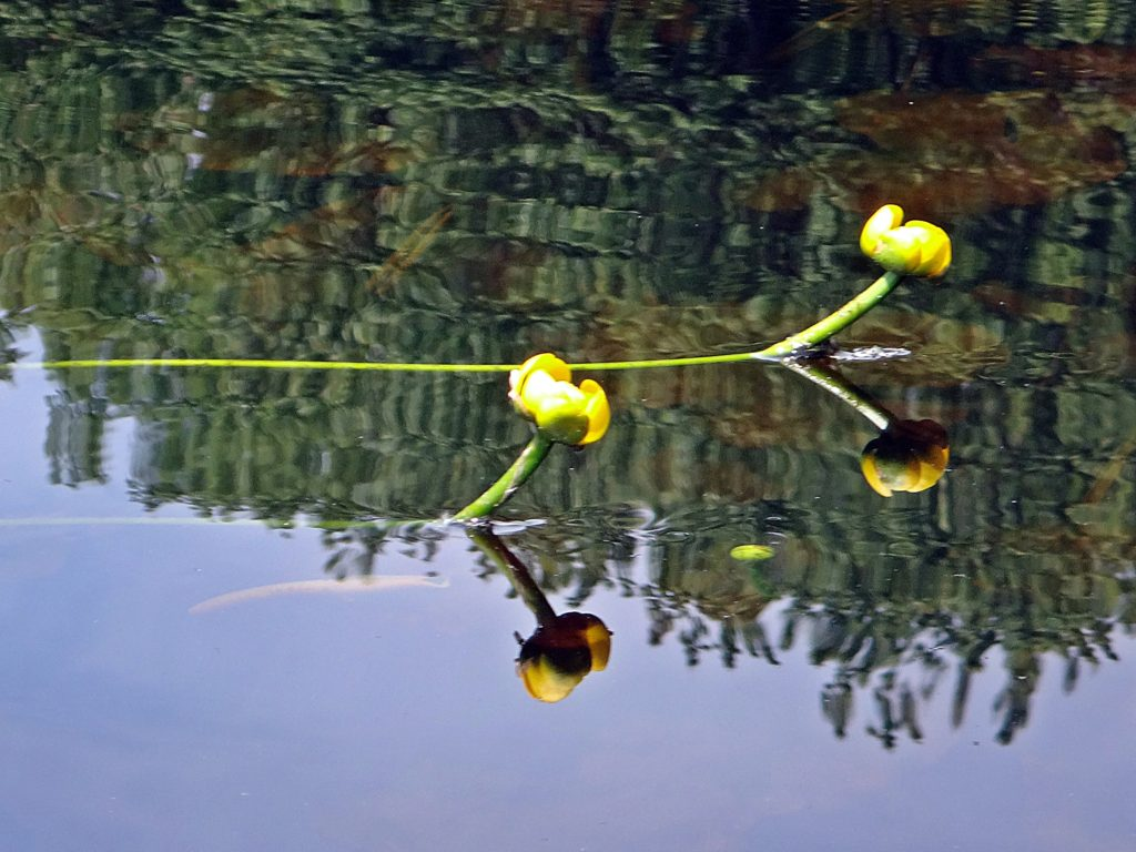 Two yellow pond lilies reflect in the calm water of Constance Creek.