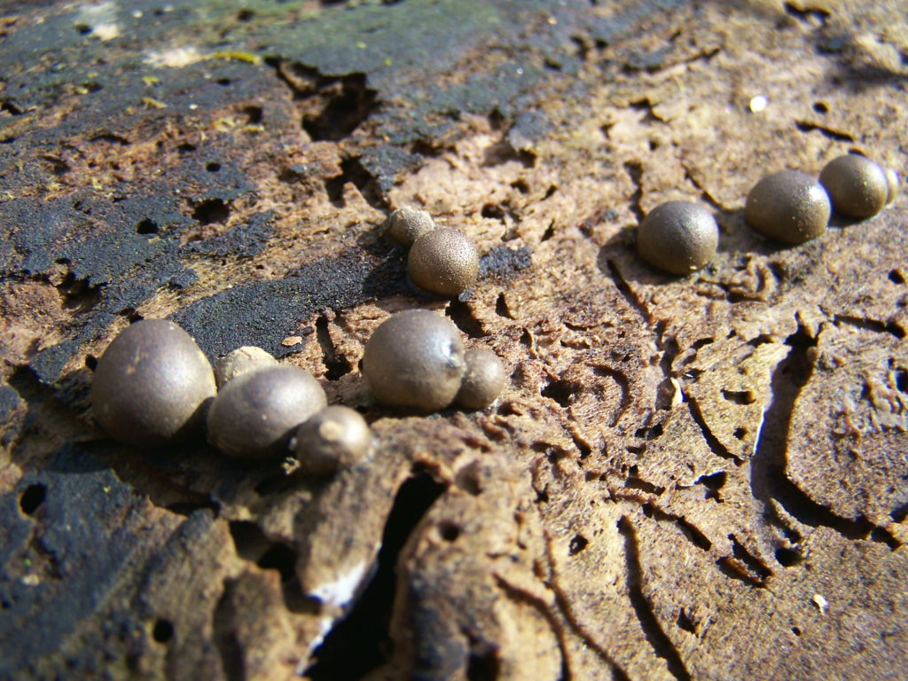 A cluster of small, dark, spherical fungi called Lasiosphaerica spermoides fruits on a weathered log.