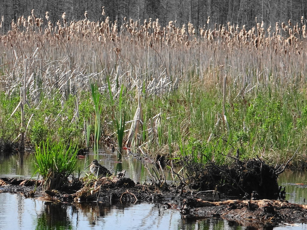 A common snipe stands on a bank of organic muck in Manion Long Swamp