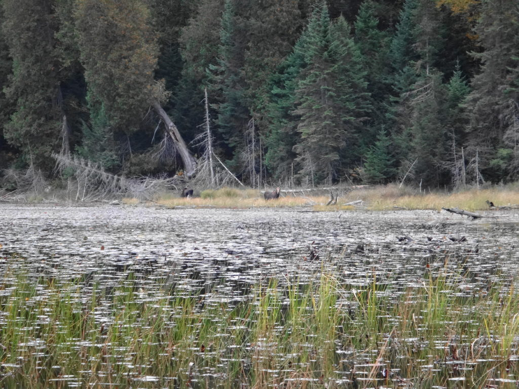 A cow and young moose feed in the shallows of a marsh in Algonquin Park