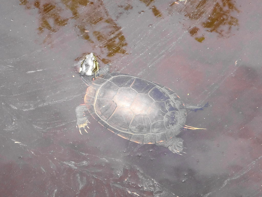 A small painted turtle surfaces in a stream in Deep River