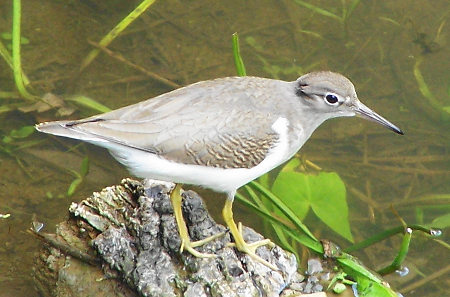 A spotted sandpiper hunts along the shoreline of the Carp River