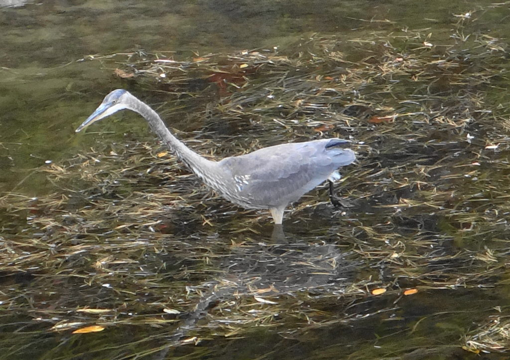 A great blue heron hunts in the shallows of the Rideau River