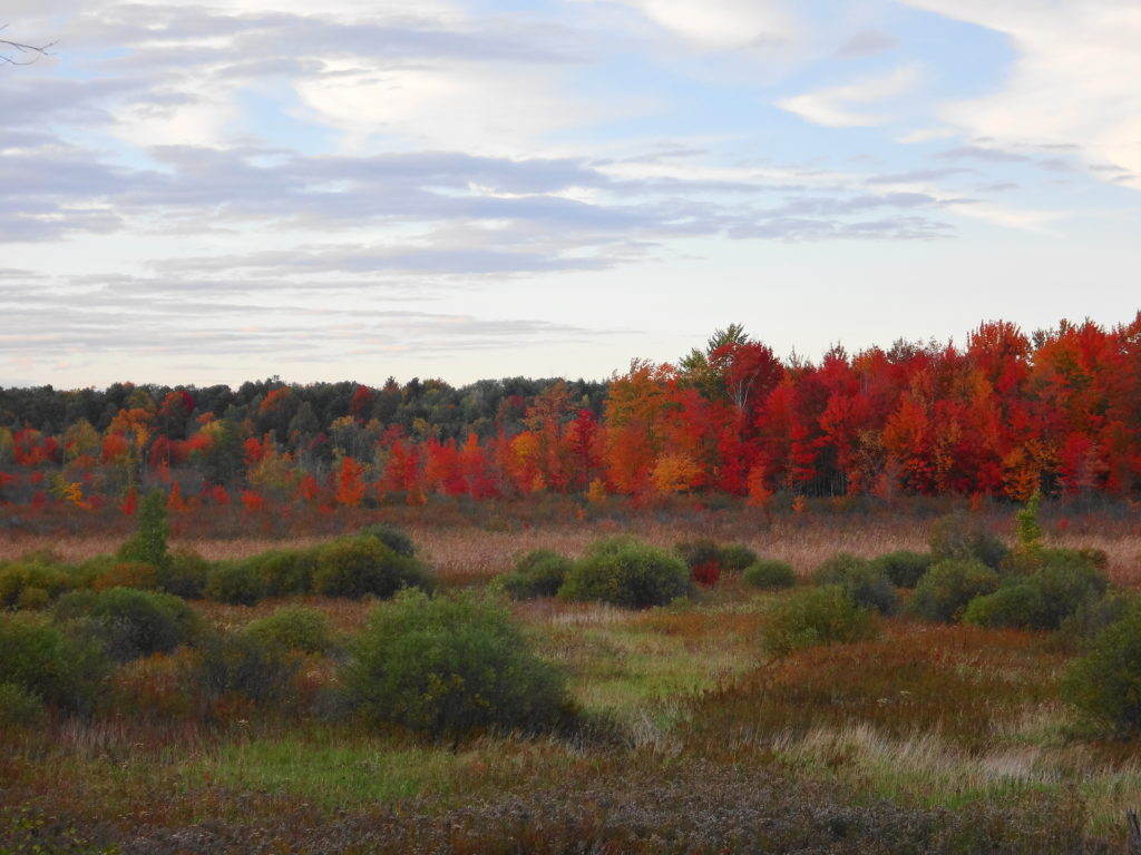 Across the wetland, a backdrop of maple trees glows red in the late afternoon light.