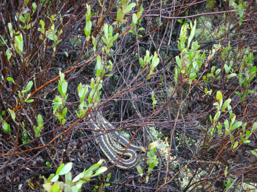 A gartner snake curls atop a sphagnum hummock in a bog in the Petawawa Research Forest