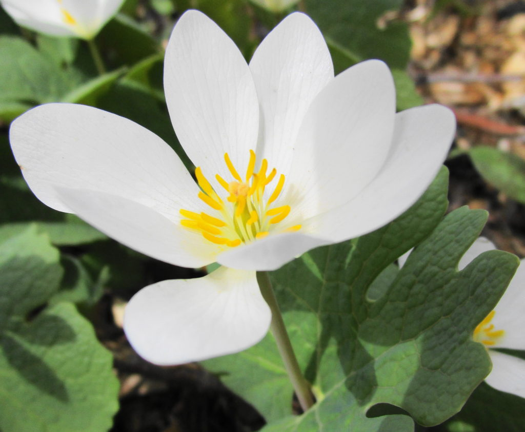 A white bloodroot flower glows in the spring sun.