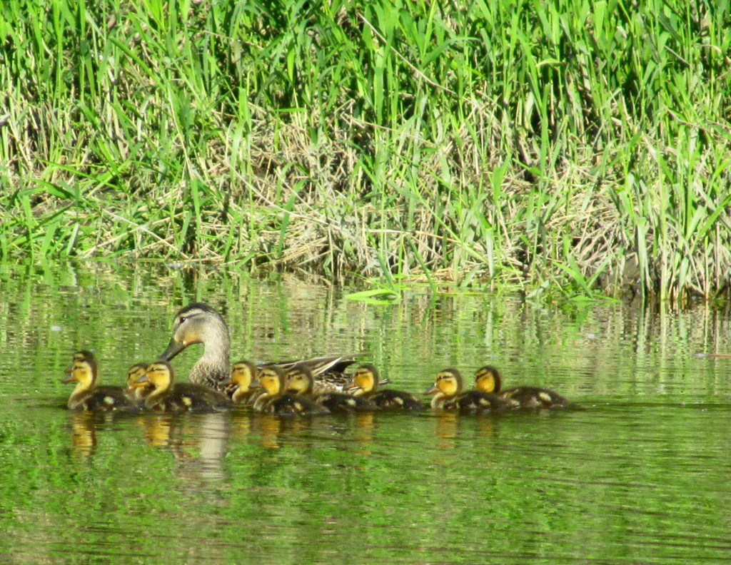 A female mallard shepherds her ducklings.