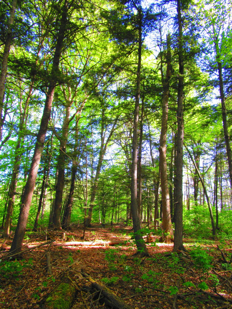 A group of young hemlock trees stand the understory of a hemlock grove.