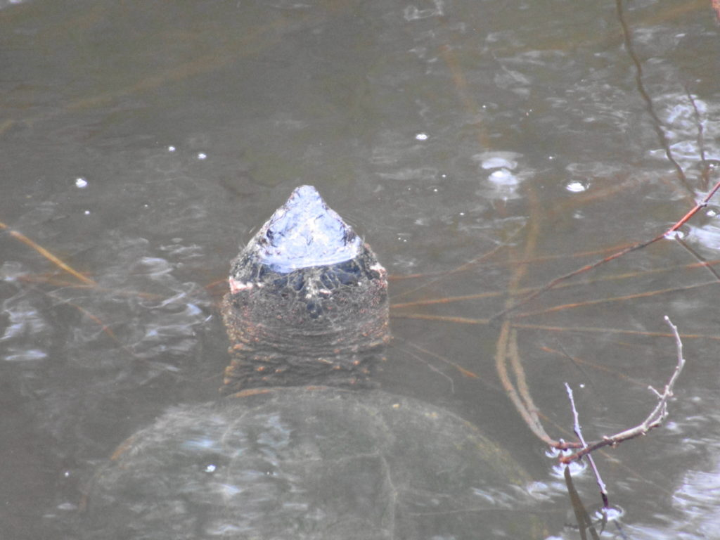 A large snapping turtle rises for a breath of air at Mud Lake.