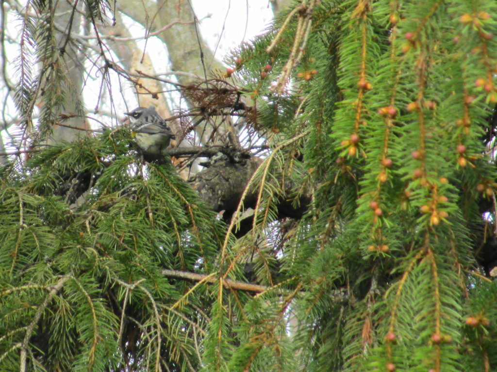 A yellow-rumped warbler perches in the branches of a spruce tree.