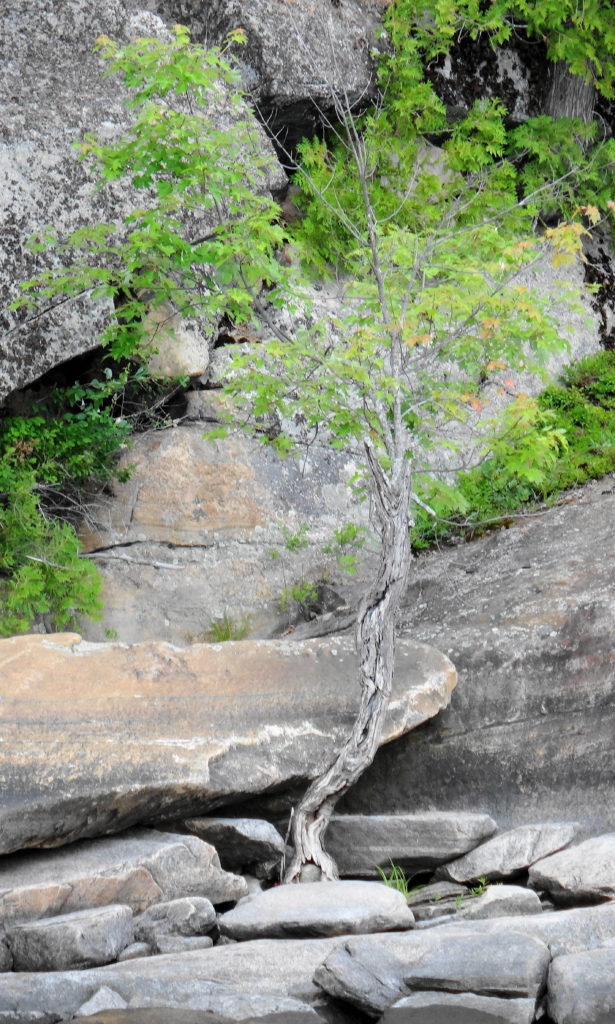 A stunted red maple grows from bare stone on the Quebec shoreline of the Ottawa River.