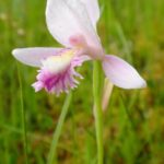 A solitary, pink rose pogonia rises from a fen mat.