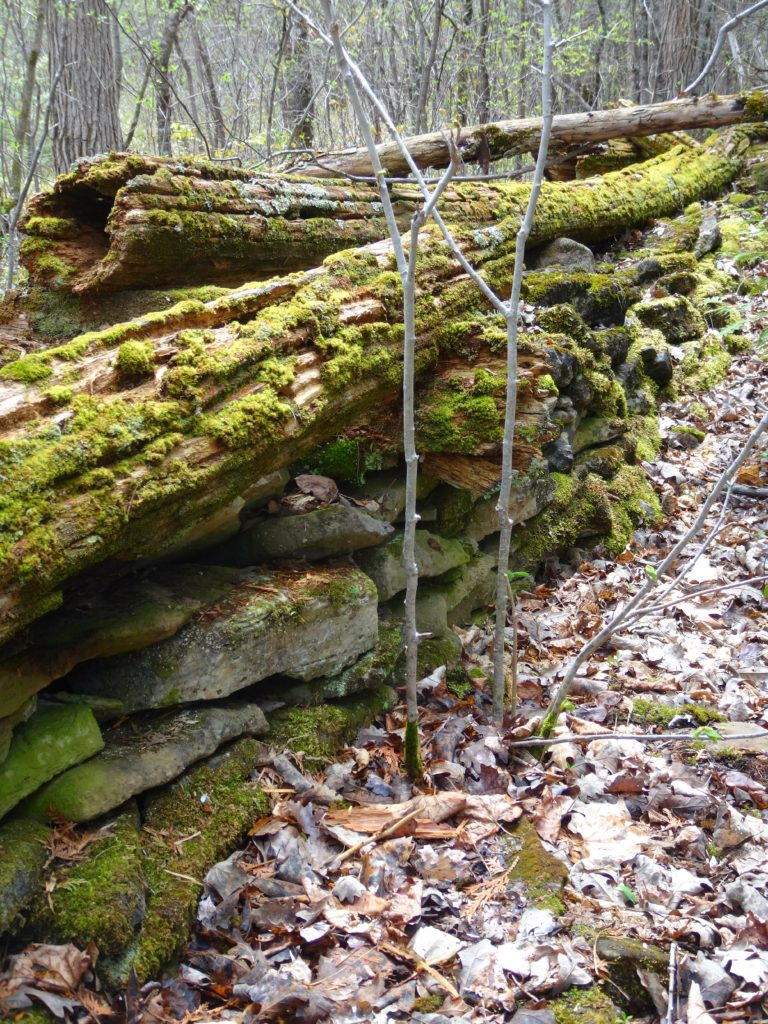 A moss-covered, cedar rail fence decays on an fieldstone wall along a trail in the Marlborough Forest.