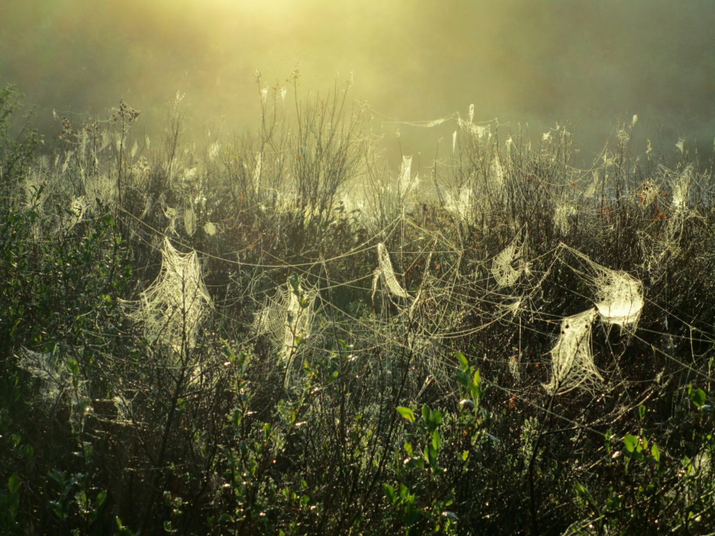 Along the Spruce Bog Trail, mist-laden spider webs droop from shrubs in the early morning light.